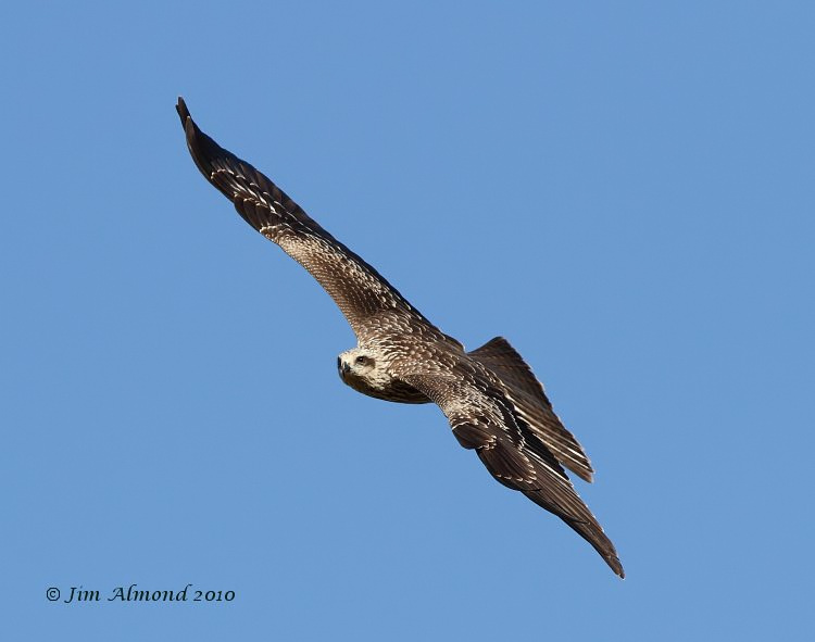 Black Kite Gigrin 11 2 10  IMG_5321