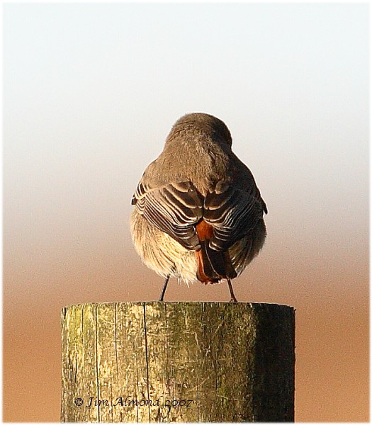 Black Redstart female Pole Cott 4 11 07  IMG_1233