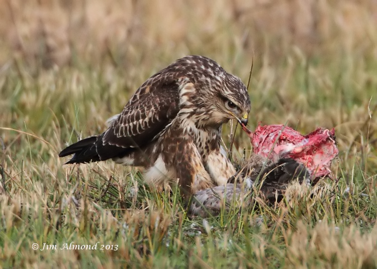 Common Buzzard with Goose kill tugging VP 15 1 13 IMG_0056