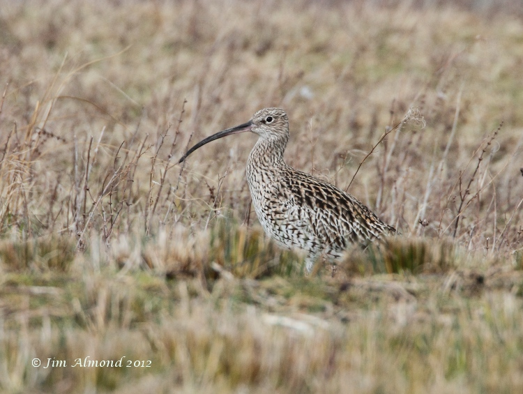 Curlew VP 4 3 12  IMG_0756