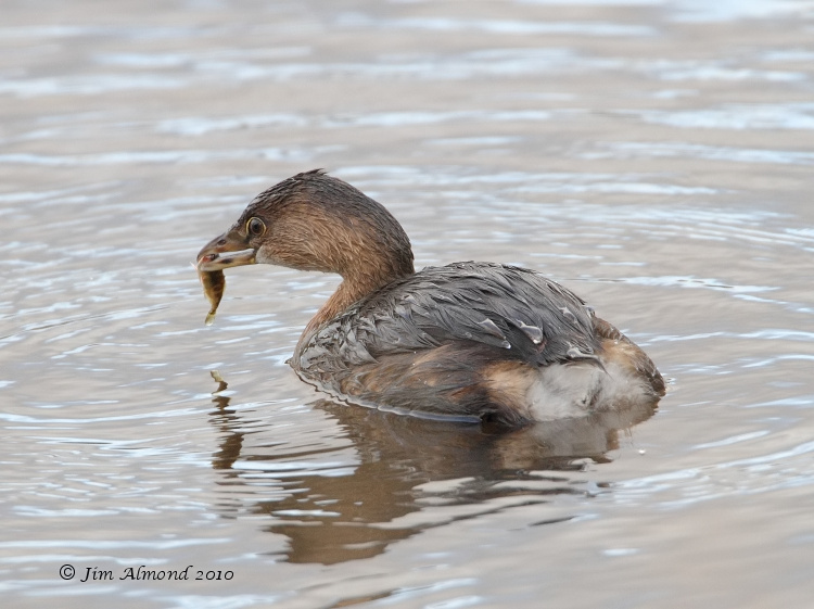 Pied billed Grebe with fish Hollingworth 11 11 10  IMG_4643