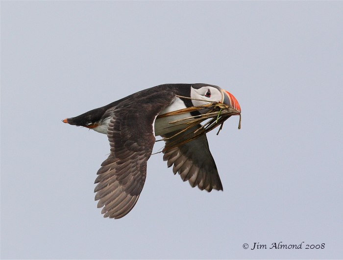 Puffin flight carrying material Farnes 14 5 08 Raw edit IMG_4041