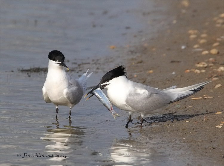 Sandwich Terns x 2 with fish Minsmere 19 6 09 IMG_7413_filtered
