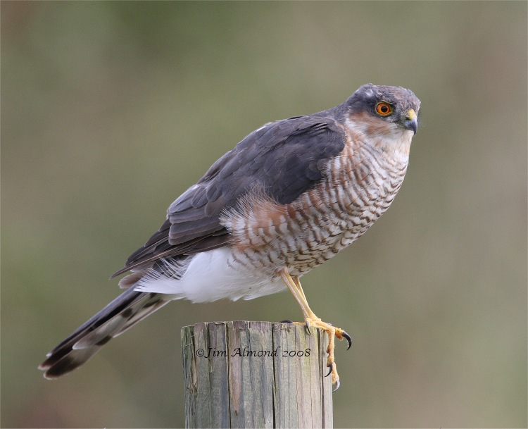 Sparrowhawk male Dawlish Warren 3 9 08 Raw edit IMG_0412