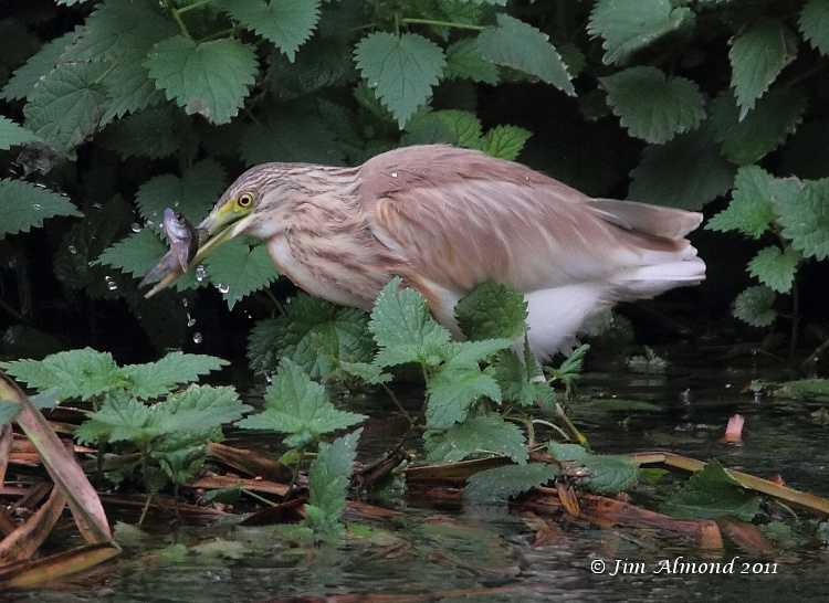Squacco Heron with Perch Attenborough 30 10 11 IMG_7529