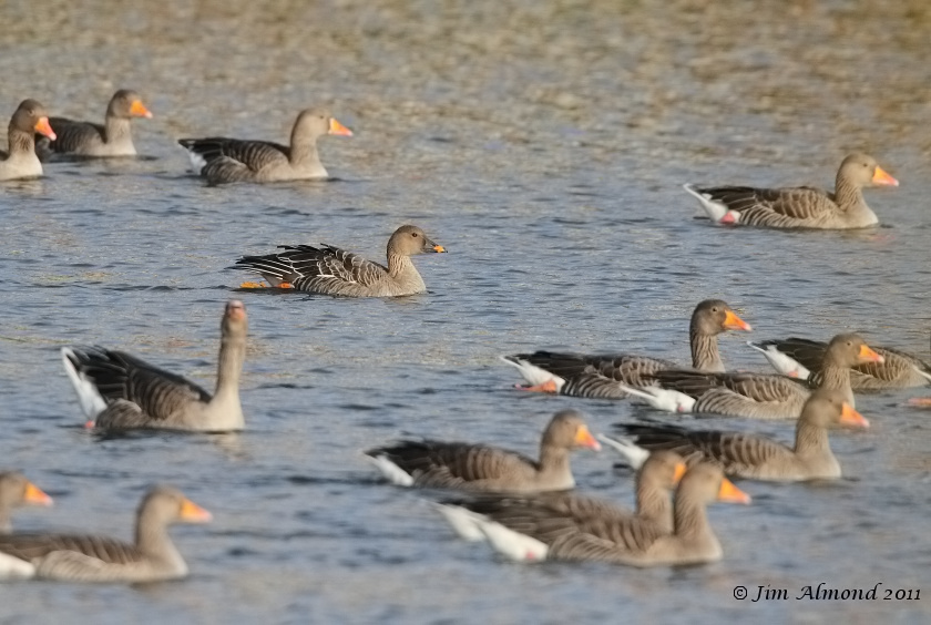 Tundra Bean Goose with Greylag flock  Priorslee Flash 5 12 11 IMG_2717
