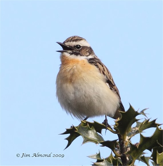 Whinchat male  Longmynd 2 5 09   IMG_2854