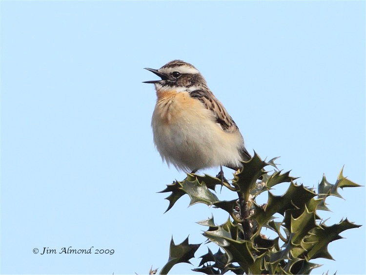 Whinchat male  Longmynd 2 5 09   IMG_2858
