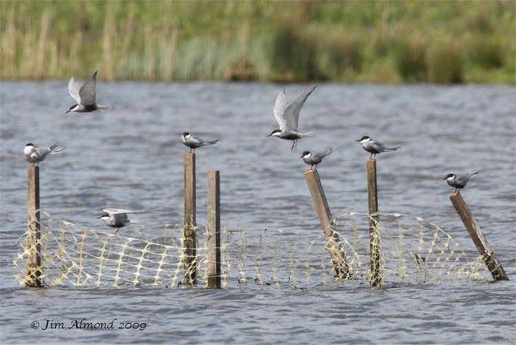 Whiskered Tern x 7 posts Willington 26 4 09 IMG_2073