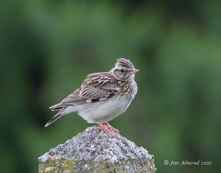 Woodlark Kelling Heath 17 6 07  IMG_1053