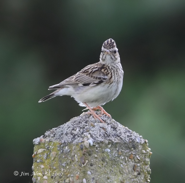 Woodlark Kelling Heath 17 6 07 IMG_1033