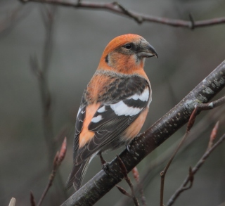 Talk homepage Two barred Crossbill Wyre Forest 8 1 13  MG_9664 1