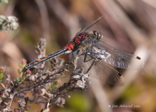 White faced Darter Whixall Moss 4 6 11 IMG_1319