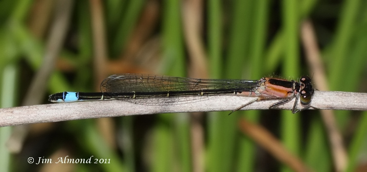 Blue tailed Damselfly immature female rufescens side Titterstone Clee 9 7 11 IMG_3739