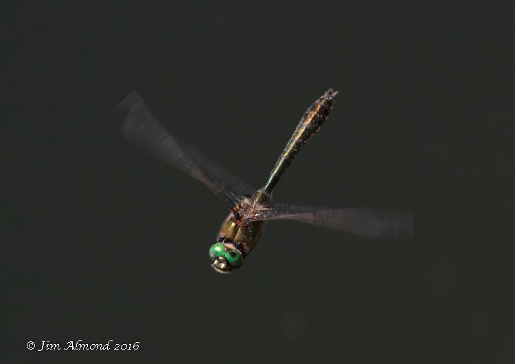 Downy Emerald male flight hover xxxx site 4 8 6 16 raw edit IMG_4809