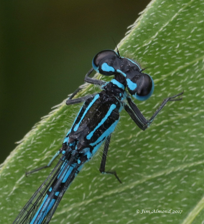 Variable Damselfly male cu for ID detail Berrington 8 7 17 FA1A9038